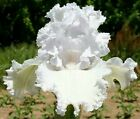 2 Re-blooming Bearded Iris Bulbs Perennial Plant Roots Resistant Stunning Garden