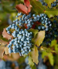 Oregon Grape - Mahonia aquifolium  (Hedging/Shrubs/Seedlings)