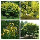 Dwarf Golden Rain Tree Seeds
