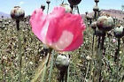30 varieties 1000 Persian Poppy seeds Blue Giant Pod Red White Mixes Taz