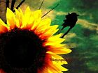 Bright Sunflower with Black Bird Matted Picture  Art Print A595