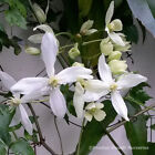 Clematis Armandii Snowdrift Scented Evergreen Climbing Plant