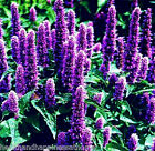 earthessence HYSSOP ~ CERTIFIED 100% PURE ESSENTIAL OIL ~ Aromatherapy.