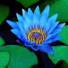 AM001 5 x New  Lotus Flower - Nelumbo Nucifera seeds Blue Garden