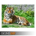 SUMATRAN TIGRESS (3799) Animal Photo Picture Poster Print Art A0 A1 A2 A3 A4