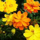 Cosmos Bright Lights 200 Flower Seeds 2 Pack Yellow and Orange Organic Heirloom
