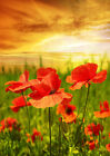 Poppies field in Rays Sun - Digital Print Glass Splashback for Kitchen