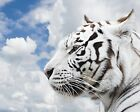 New The White Tiger Look Sky Art Print Poster p0214