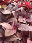 (124) Amaranth 'Red Army'  salad leaf 'The quality seeds Tasty Salad  free p+p
