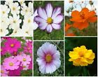 Crazy for Cosmos 100-300 Organic Flower Seeds Pink, White, Yellow, Orange, Combo