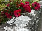 Climbing Rose Seeds,BRIGHT RED FLOWERS, Perennials , fence, pillar, shed