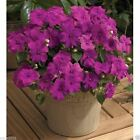 Impatiens Seeds - xtreme lilac- ideal for Baskets,Containers & window boxes