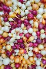 Onion Sets Red,Yellow,White or Mix (40-60 bulbs) Pick color, Garden Vegetable