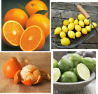 Grafted Citrus Trees Orange Lemon Lime Tangerine Navel Satsuma Tangelo + Dwarf