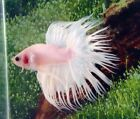 #49 Thai Import Fancy White Platinum Male CT Crowntail Betta Live Fish