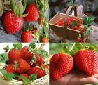 Strawberry Seeds Indoor Plants Tree Rare Home Garden Bonsai Fruit Seeds 100pcs
