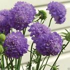 Scabiosa Seeds - PURPLE,Flowers seeds,commonly known as Pincushion Flowers.