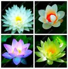 10pcs/bag lotus flower lotus seeds Aquatic plants bowl lotus water