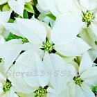 Lily Flower Seeds White Lace Hosta Perennials Plant Garden Cover Plant 100pcs