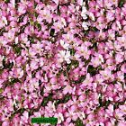 Gypsophila repens 'Filou Rose' BABY'S BREATH First Year Flowering Dwarf seeds