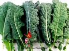 Kale Lacinato Seeds 400 to 5LB Bulk FREE SHIP Nero Salad Microgreen Easy #291