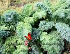 Kale Dwarf Blue Curled Scotch Seeds Sizes 550 to 10LB FREE SHIP Vates Bulk #290