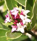 Daphne odora Aureomarginata. Highly Scented. Flowering Gift plant RHS AGM plant.