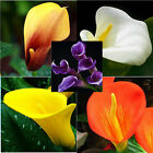 TRUE Calla Lily Bulbs - Not Seeds, Home And Garden Plants, RARE Bulbs, 10 Bulbs