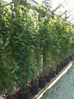 Bay Hedging Trees large bushes 15 Litre 6-8ft Specimens AGM plant