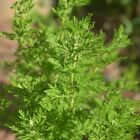 Chinese Wormwood Seeds (Artemisia annua) FROZEN SEED CAPSULES