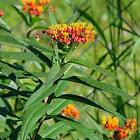 Sunset Flower Milkweed Seeds (Asclepias currassavica) FROZEN SEED CAPSULES