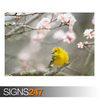 SMALL YELLOW BIRD SPRINGTIME (AE909) - Photo Picture Poster Print Art A0 to A4