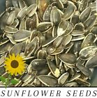 Medium Black SUNFLOWER Seeds PARROT Bird Hamster Mouse SEED **Choose Size**
