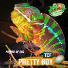 Hatch a Live Colorful Panther Chameleon Baby Egg includes Reptile Incubator
