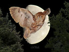 Owl Flying Across the Moon Matted Photo Picture Wall Art, Choose your size A150