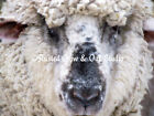 Sweet Spring Sheep Signed Original Handmade Matted Picture Art Print A411