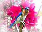Eastern Bluebird & Spring Cherry Flower Signed Original Matted Picture Fine A679