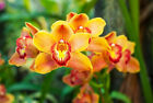 CYMBIDIUM ORCHIDS COMPOST, ORCHID BARK SUBSTITUTE, ORCHID SOIL FOR BOAT ORCHIDS