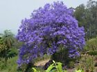 Jacaranda Tree Seeds,  Jacaranda Mimosifolia,  Magnificent lavender blue flowers