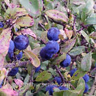 sloe berries for sale