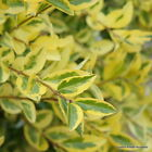 Ligustrum Aureum Golden Privet Bare Root Hedging Plants 60-80cm x 5