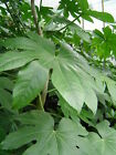 Japanese Aralia shrubs. Fatsia Japonica. Awarded the RHS Award of Garden Merit.