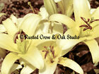 Creamy Yellow Lily Flower Signed Original Handmade Matted Photo Picture A121