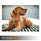 GOLDEN RETRIEVER DOG (3809) Animal Photo Picture Poster Print Art A0 A1 A2 A3 A4