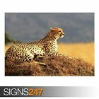 CHEETAH (3797) Animal Photo Picture Poster Print Art A0 A1 A2 A3 A4