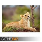 WHITE LION CUB (3800) Animal Photo Picture Poster Print Art A0 A1 A2 A3 A4