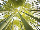 New Bamboo Forest To Sky Art Print Poster p0054