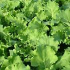 (170)  kale THOUSANDHEAD SUPERFOOD quality   garden 10000 seeds  free p+p