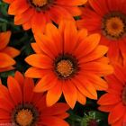 Gazania Seeds - New Day BRONZE SHADES - Perennial in zones 9 and 10.Easy-to-Grow