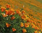 California Poppy Seeds (Eschscholzia California) The state flower of California
